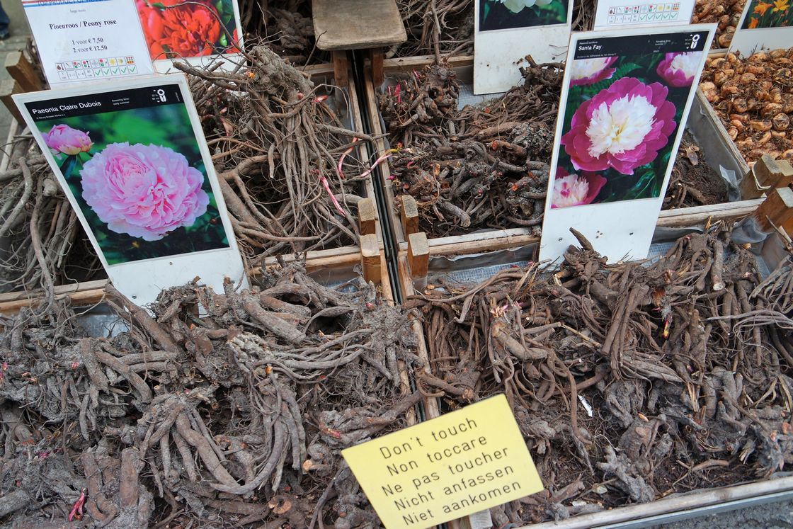 Корневища цветов. Амстердам